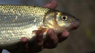 Divoké riečne ryby