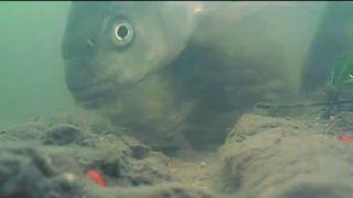 Zimní lopaty (Winter bream - underwater shots)